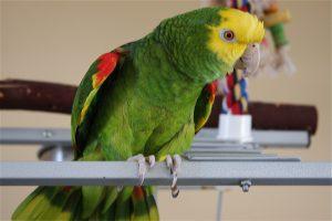 Попугай Амазон