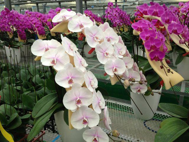 Фестивать орхидей