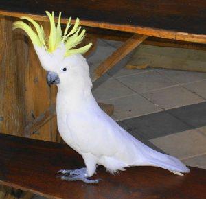 Попугай Какаду